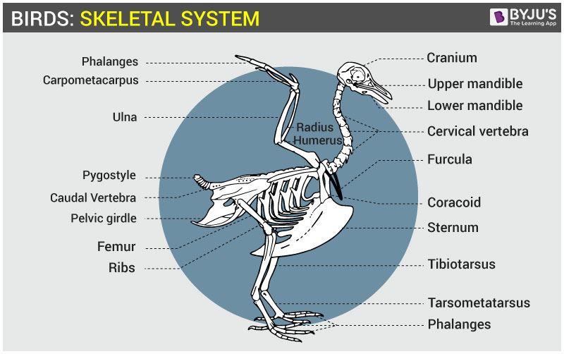 Birds Skeletal System