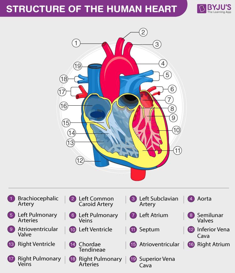 Heart - Human Circulatory System