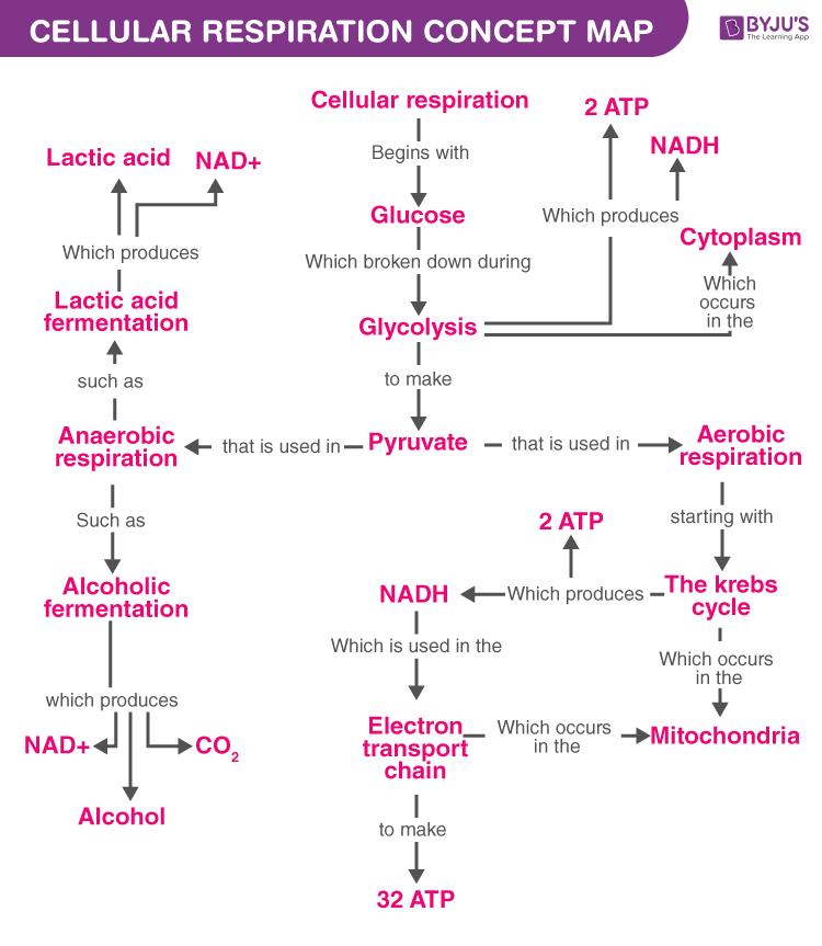 Cellular Respiration Concept Map
