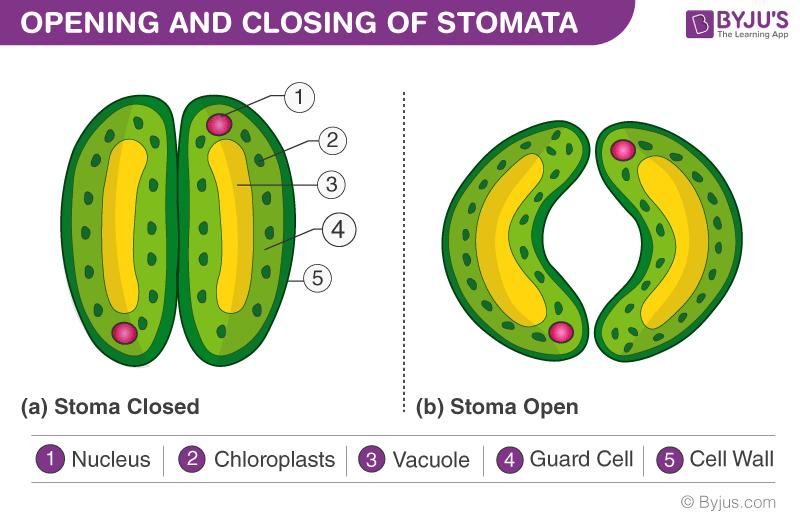 Stomata opening and closure
