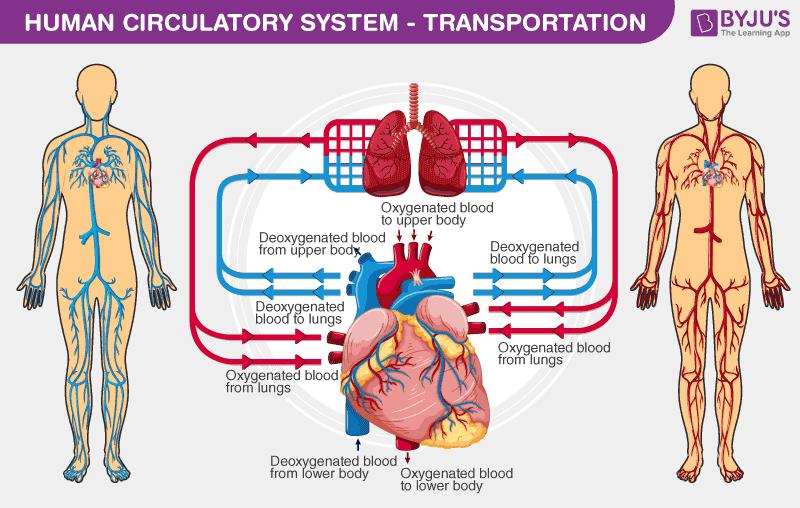 Human Circulatory System - Transportation